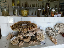 Corail, musée du CNRO, Nosy Be
