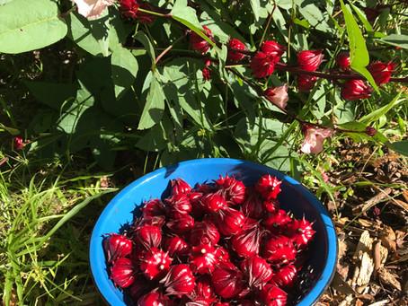 Roselle-a favorite fall delight