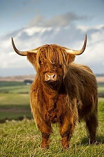 Highland_cow_edited.jpg
