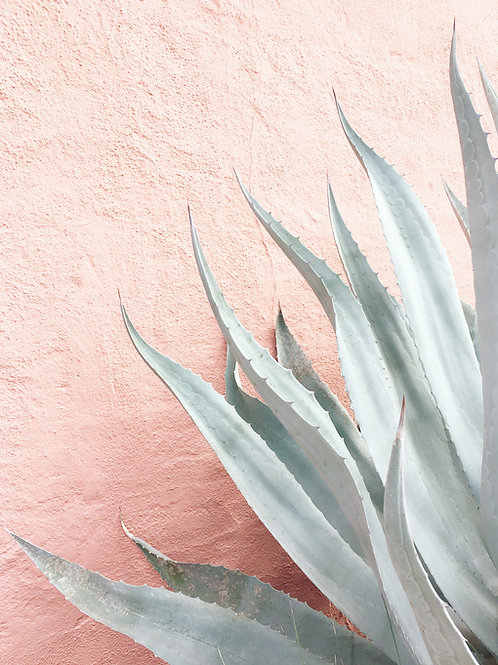 Agave on Pink Wall