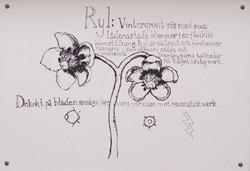 Ryl (Chimaphila umbellata)