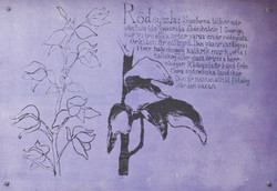 Rödsyssla (Cephalanthera rubra)