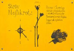 Sträv Nejlikrot (Geum hispidum)