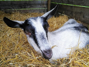 Fred the Goat