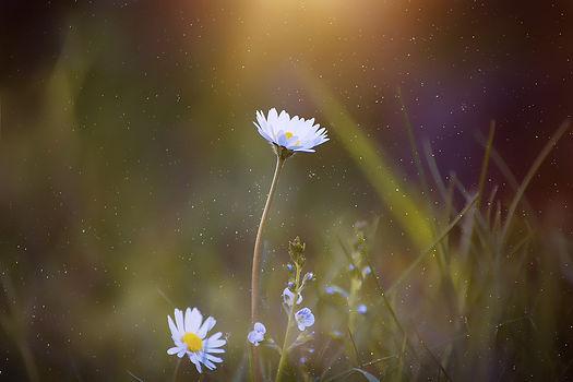 daisy-2400049_1920.jpg