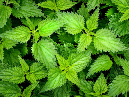 Nettle pies, Homeopathic Nettle and other lockdown stories