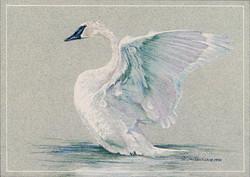 Broadmoor Swan