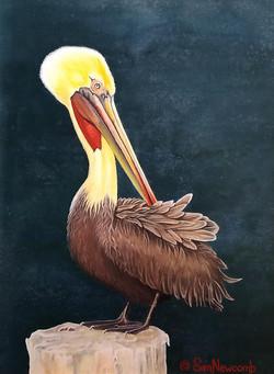 Santa Barbara Pelican