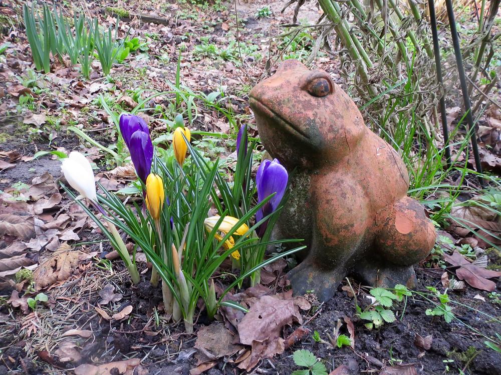 De kikker in de tuin met bloeiende krokussen