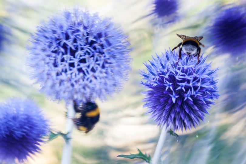 Bumblebee bliss