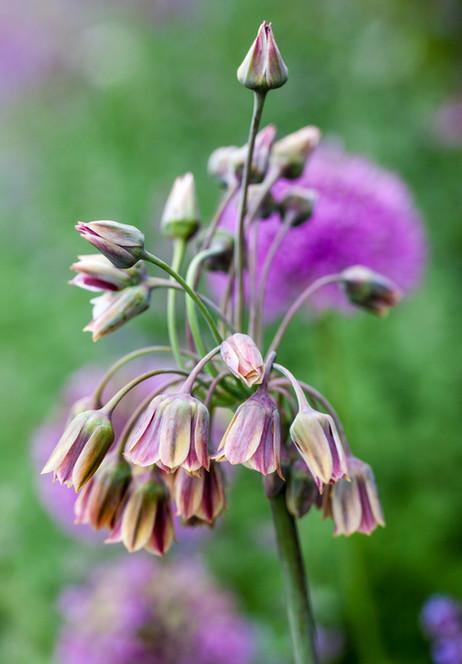 Nectaroscordum siculum ssp. bulgaricum