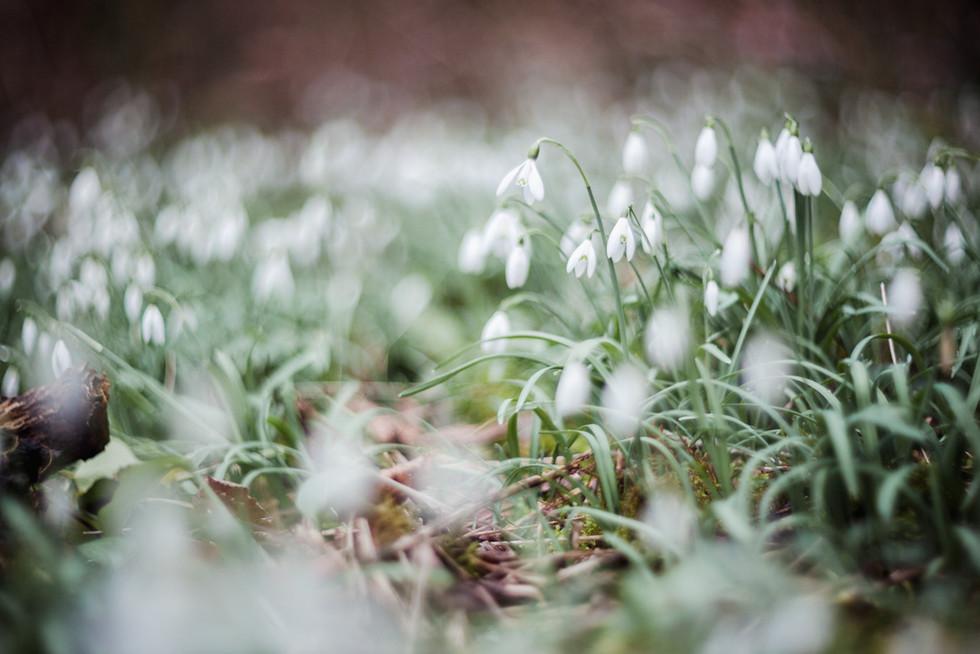 Galanthus nivalis woodland