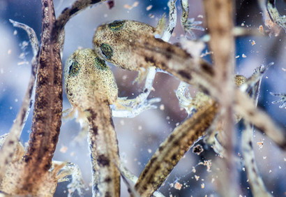 Fire salamander babies