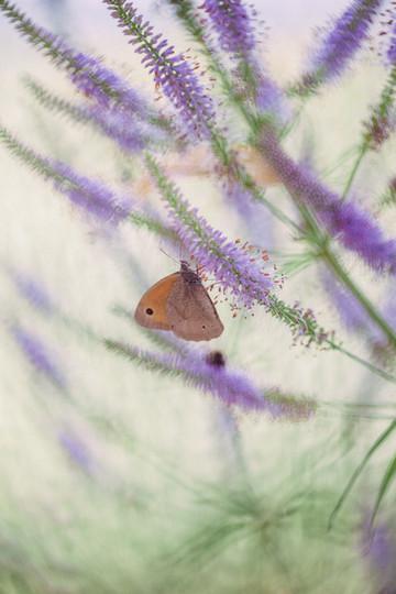 Meadow brown & Veronicastrum virginicum 'Fascination'