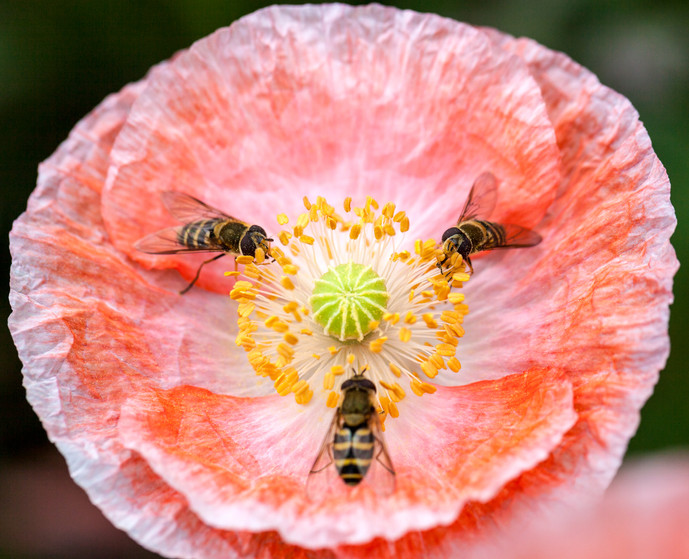 Papaver rhoeas with hover flies