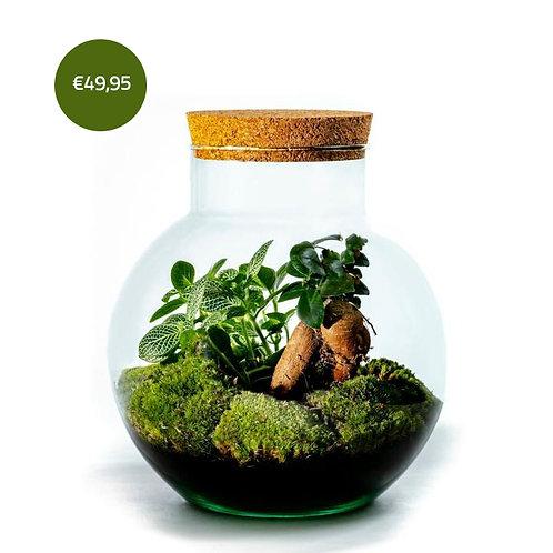 Bolder - Ficus ginseng - Growing Concepts