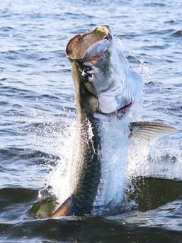 Sport Fishing Trinidad Tarpon