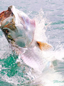 Tarpon Head - Sport Fishing in Trinidad