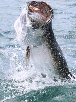 Tarpon Fishing Trinidad