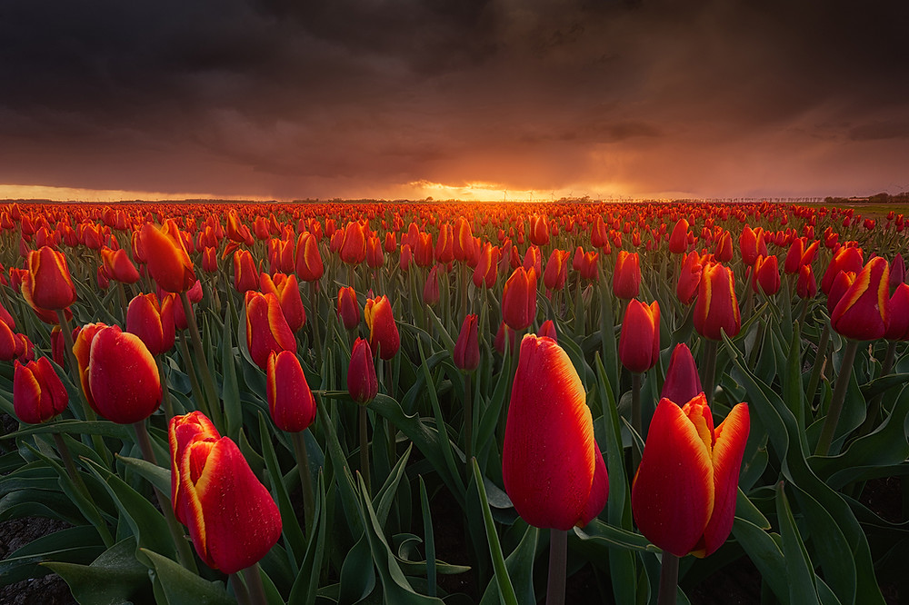Where & How To Shoot Tulips In The Netherlands by Albert Dros