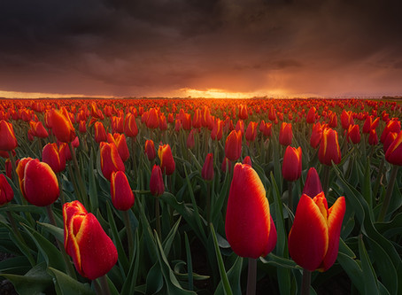 Where & How To Shoot Tulips In The Netherlands