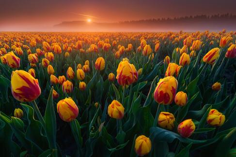 tulipssunrise2.jpg