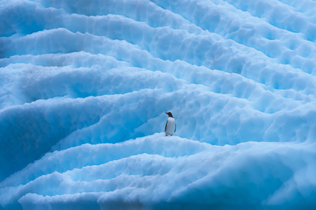 Antarctic Penguin
