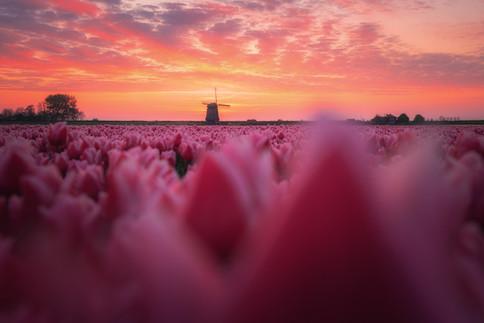 Dutch Dream