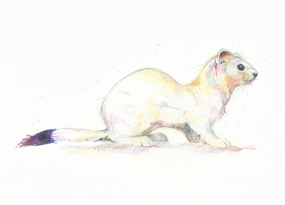 Aisly - Winter Stoat 30.5x33.5cm