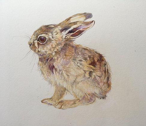 Steorra - Brown Hare Leveret