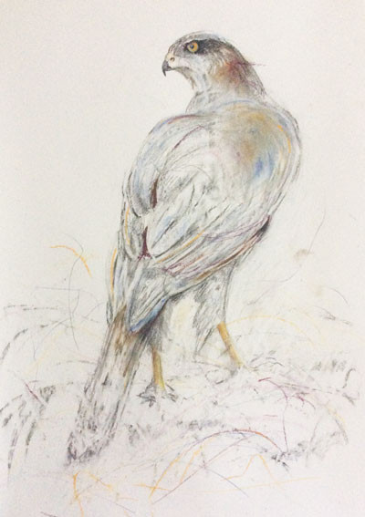 Gwyhyfar was sold today at my exhibition and she is going to a good home with someone who has wanted to buy one of my goshawks for some time, he finally found the one he loved the best and I am delighted for him