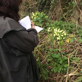 Spring primroses on a bank in Dorset, such a beautiful colour and so wonderful to draw.