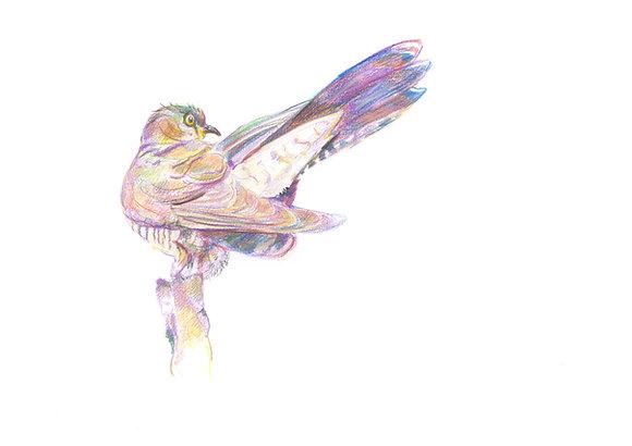 Cuckoo displaying