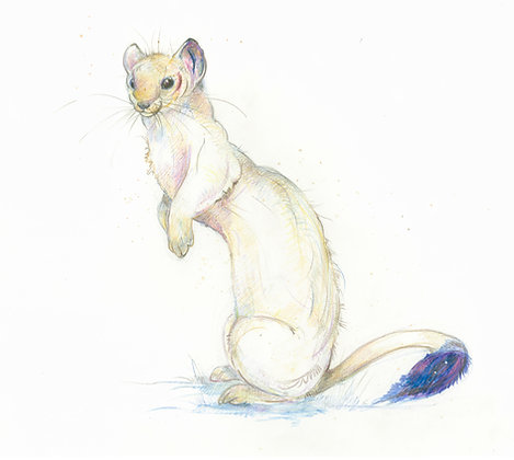 Gwendolen - Winter Stoat