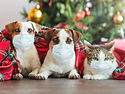 Cat and dogs under a christmas tree. Pet