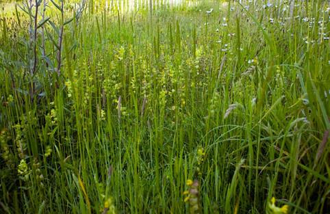 Yellow rattle (meadow maker)