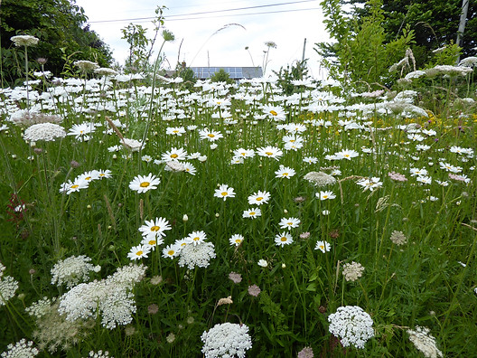 Daisies and wild carrot