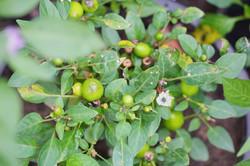 Baby mangos in the garden at Phool Chatti Yoga Ashram in Rishikesh