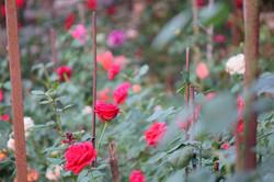 Beautiful flowers in the garden at Phool Chatti Yoga Ashram in Rishikesh