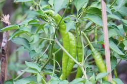 Variety of chillies in the garden at Phool Chatti Yoga Ashram in Rishikesh
