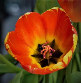 Craig S. Higgins | Fire Tulip
