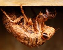 """Yinglin Y.   """"Golden Cicada Shell"""""""