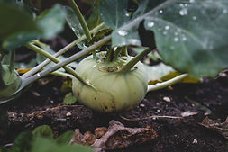 How to Grow Kohl Rabi