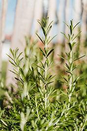 How to Grow Rosemary