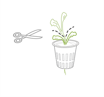 trimming leggy seedlings.png
