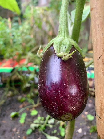 How to grow Aubergine