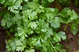 How to Grow Coriander