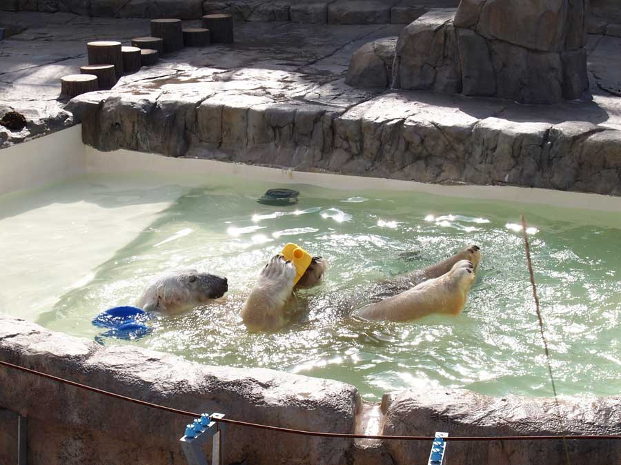 ホッキョクグマ水遊び