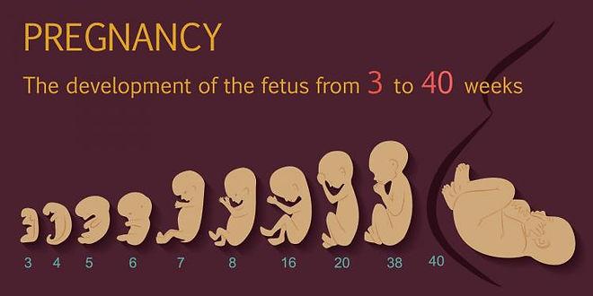 fetal_development_750_375_75_s_c1.jpg