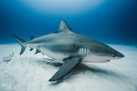 bull shark dive mexico.jpg